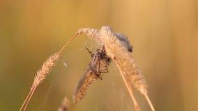 Vier Vlek orb-Wever martelt de spin van /Araneus quadratus/Marsh Crane Fly in zijn nest stock video
