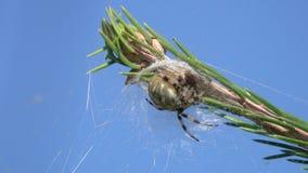 Vier Vlek orb-Wever zit de spin van /Araneus quadratus/in afwachting van het slachtoffer stock footage