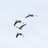 Vier vliegende grijze ganzen anser anser witte hemel Royalty-vrije Stock Afbeelding