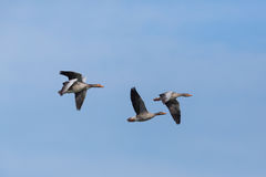 Vier vliegende grijze ganzen die anser anser in blauwe hemel vliegen Royalty-vrije Stock Foto's