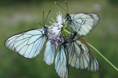 Vier vlinders op één bloem stock afbeeldingen