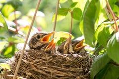 Vier Vogelbabys in einem Nest stockfotografie