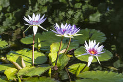 Vier Water Lillies stock afbeelding