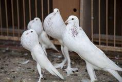 Vier Weiß Poutertaube Stockbild