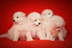 Vier Weiß-Welpe des Samoyed-Hundes auf rotem Hintergrund Stockbilder