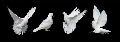 Vier weiße Tauben Lizenzfreie Stockfotografie