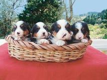 Vier Welpen in einem Korb stockbild