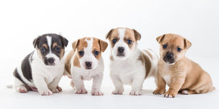 Vier Welpen Jack-Russel auf einer Reihe Lizenzfreies Stockfoto