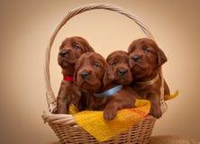 Vier Welpen Setzer sitzen im Korb Stockfotografie