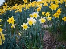 Vier witte gele narcissen in gebieds gele bloemen stock foto