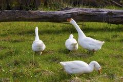 Vier witte gooses Stock Afbeeldingen