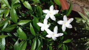 Vier witte kleine bloemen Royalty-vrije Stock Foto