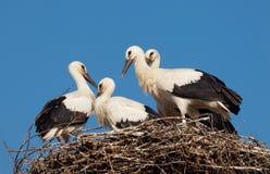 Vier witte ooievaarsbabys (Ciconia-ciconia) in het nest Royalty-vrije Stock Fotografie