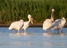 Vier witte pelikanenrust op het water stock afbeelding