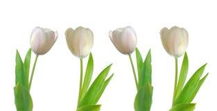Vier witte tulpen Stock Afbeeldingen