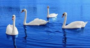 Vier witte zwanenvlotters in blauw water Stock Afbeelding