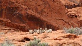 Vier Woestijn bighorn schapen stock footage