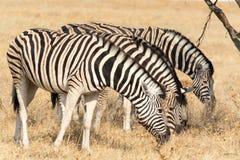Vier Zebras het eten Stock Afbeeldingen