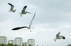 Vier zeemeeuwen tijdens de vlucht Stock Foto