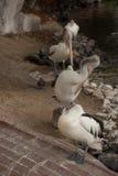 Vier zimperliche Pelikane lizenzfreie stockfotos