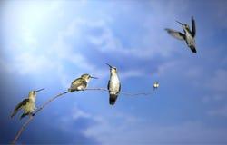 Vier zoemende vogels in verschillende posities inzake een tak tegen een heldere blauwe hemel Royalty-vrije Stock Foto