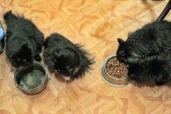 Vier zwarte katten eten Stock Afbeeldingen