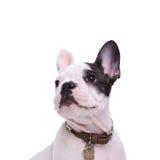 Vierkant beeld van het leuke Franse de hond van het buldogpuppy stellen royalty-vrije stock foto's