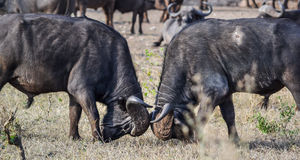 Vierkant van twee het Afrikaanse Buffelsstieren weg Stock Foto
