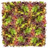 Vierkant van wilde druiven Royalty-vrije Stock Fotografie
