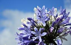 Viertel der Lilie des Nils, auch genannt Lilienblume African Blue Stockbild