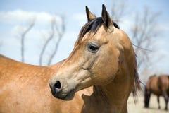 Viertelpferd Stallion Lizenzfreies Stockbild