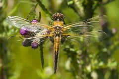 Viervlek, Four-spotted Chaser, Libellula Quadrimaculata Stock Photo