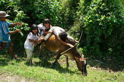 Children herd oxen and play on their back. VIET NA Stock Images