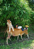 Children herd oxen and play on their back. VIET NA Royalty Free Stock Images