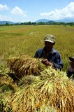 Farmer harvest rice on the field . VIET NAM- SEPTE Royalty Free Stock Photos