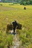 Farmer harvest rice on the field . VIET NAM- SEPTE Stock Photography