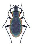 Vietinghoffi de Carabus de scarabée photos stock