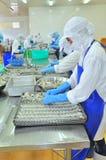 工作者在Vietn湄公河三角洲的海鲜工厂重新整理在盘子上的被剥皮的虾放入冻机器  免版税库存图片
