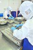 工作者在Vietn湄公河三角洲的海鲜工厂重新整理在盘子上的被剥皮的虾放入冻机器  免版税图库摄影