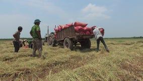 VIETNAM APRIL 15: Skörda ris, när att klippa avslutas lager videofilmer