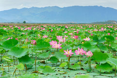 Vietnam-Blume, Lotosblume, Lotosteich Stockbilder