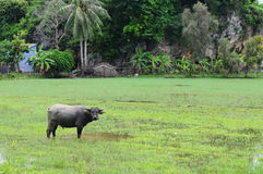 Vietnam buffalo and the rice field Stock Images