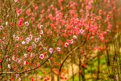 Vietnam cherry blossom Royalty Free Stock Image