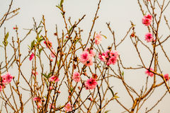 Vietnam cherry blossom Stock Photography