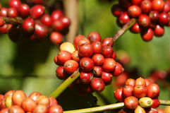 Vietnam coffee tree, coffee bean Royalty Free Stock Photography