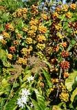 Vietnam coffee tree, coffee bean Royalty Free Stock Photos