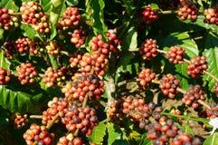 Vietnam coffee tree, coffee bean Royalty Free Stock Image