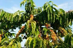 Vietnam coffee tree, coffee bean Stock Photography