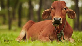 Vietnam. Cow lies on the grass and rests. stock footage