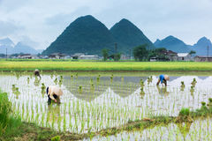 Vietnam Farmer growth rice on the field Stock Photography